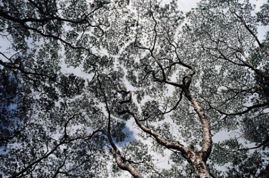 Tree Canopy 2008