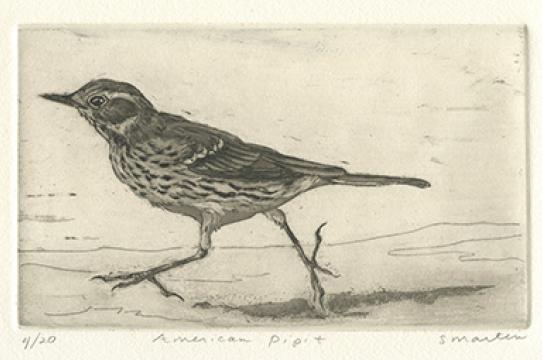 American pipit (Younger Lagoon Reserve), etching by Stephanie Martin